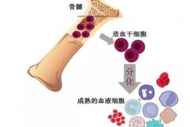 骨髓如此重要,吃人参牛骨髓饮料可以补骨髓吗?