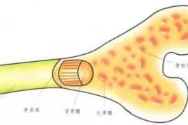 为什么要补骨髓?牛骨髓肽与机体的修复作用!