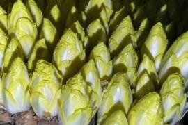 菊苣根有三大功效:护肝、降尿酸、改善肠炎!