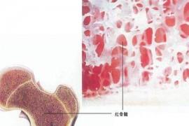 """人参菊髓宝里健康的秘密:骨髓是免疫之源,牛骨髓多肽是骨髓的""""充电器"""""""