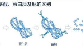 胶原蛋白与胶原蛋白肽的区别_牛骨胶原蛋白肽的功能与作用