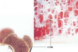 补骨髓吃什么好?牛骨髓肽能促进骨骼生长保护骨骼健康吗?
