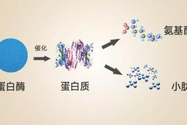 蛋白肽和蛋白粉哪个更管用?价格差别大吗?