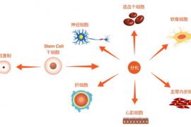 骨髓间充质干细胞对肝脏的修作用,干细胞治疗肝衰竭的作用与原理