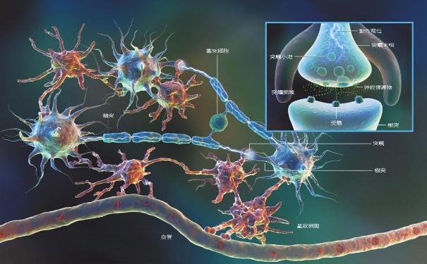 骨髓再生神经细胞.png