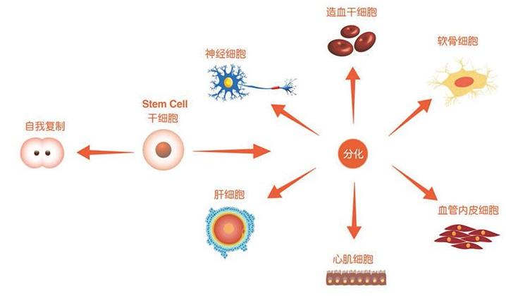 骨髓与干细胞.png