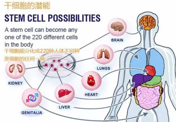 骨髓干细胞的免疫的作用.png