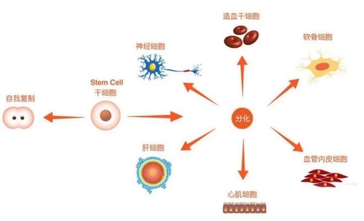 干细胞再生的秘密.png
